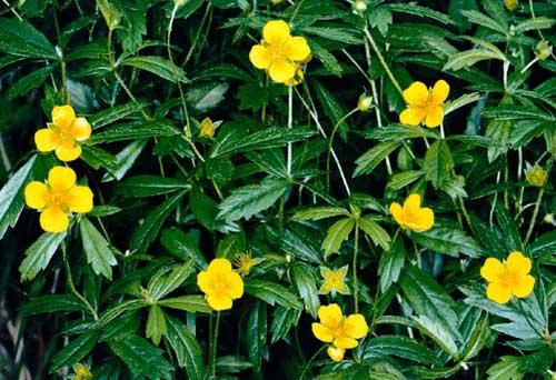 Кочерыжник цветы фото